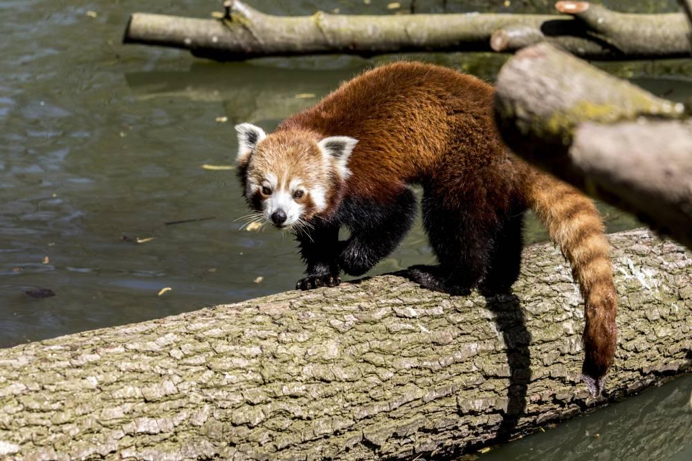 Rode-panda-GaiaZOO-_2_