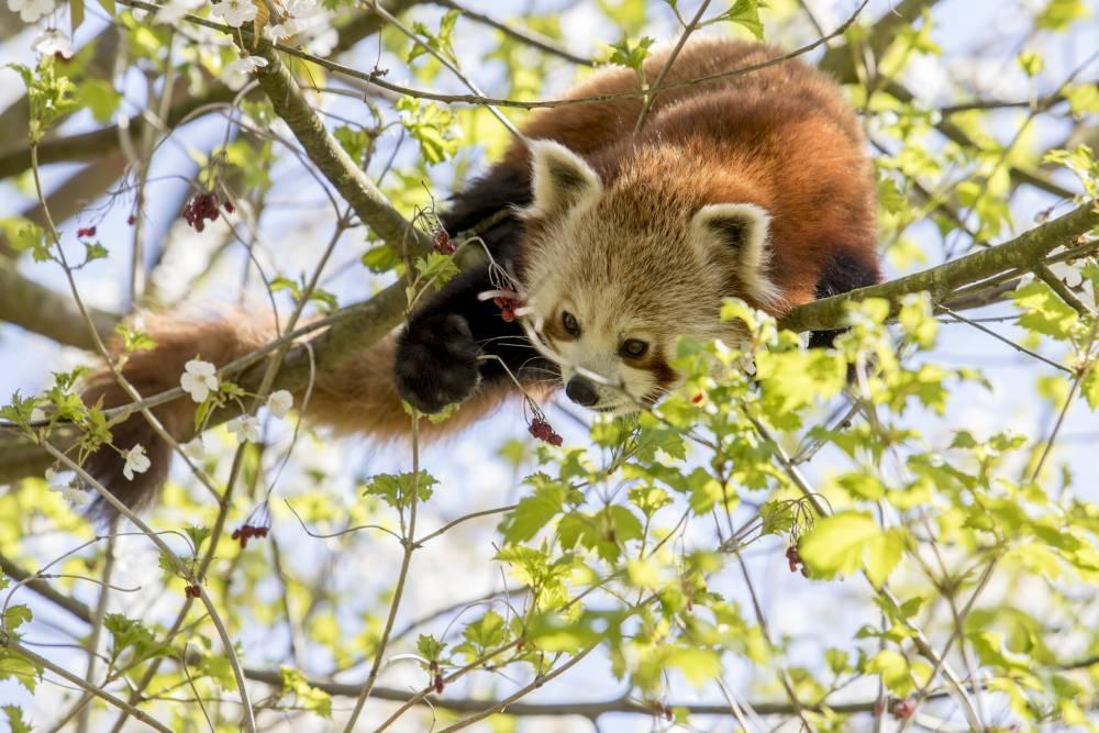 Rode-panda-GaiaZOO2